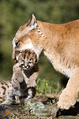 http://www.hoothollow.com/Animals%20of%20Montana%202005/CougarWithOneCub.jpg