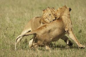Kenay photo safari photography participants - Leones apareamiento ...