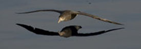 petrel flying