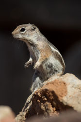 yuma groundsquirrel
