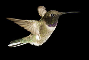 Hummingbirds And Bat Photography For Photo Tours And Workshops
