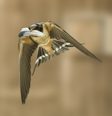 photographing flying barn swallows