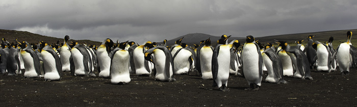 King Penguin Colony Pano