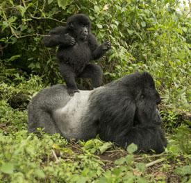 Baby Silverback Gorillas   www.pixshark.com - Images ... Newborn Silverback Gorilla