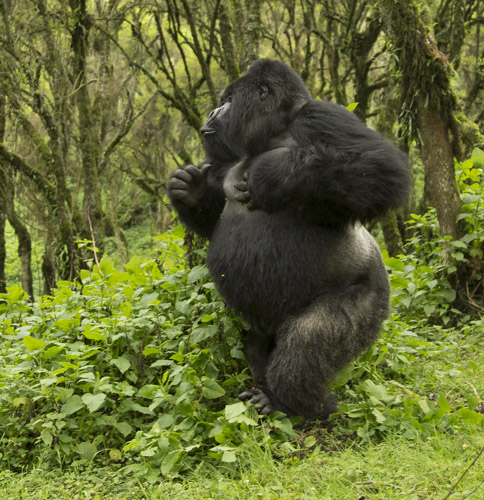 Gorilla standing up - photo#45