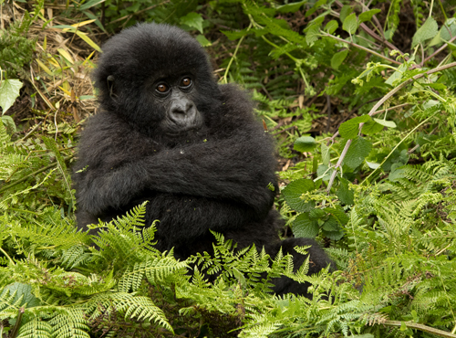 Mountain Gorillas Rwanda 2016 Trip 1 Report
