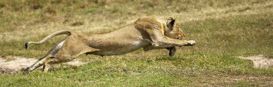 lioness charge