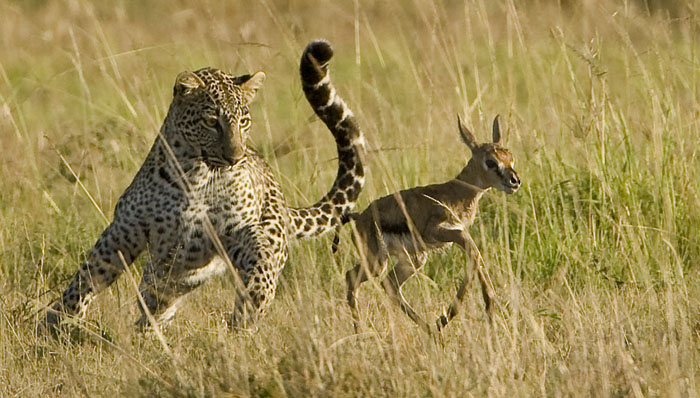 Snow Leopard: The Animal Files