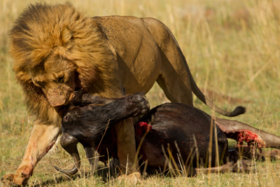 Predation feeding in Lion vs Tiger Discussion Forum
