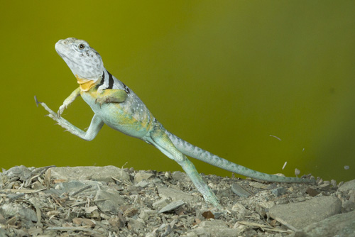 Types of Lizards  Animal Pictures and Facts  FactZoocom