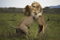 lion play