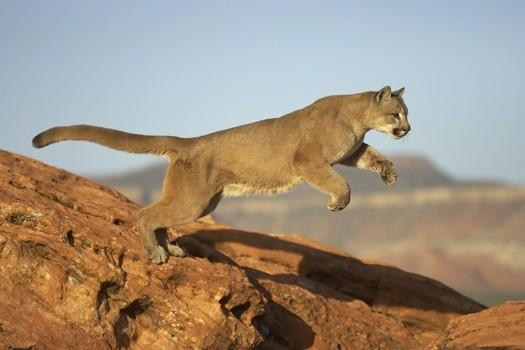 Slike životinja - Page 4 Puma%20(cougar)%20Leaping-042925%20RAW-1