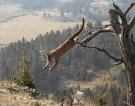 puma jumpingPuma Animal Jumping